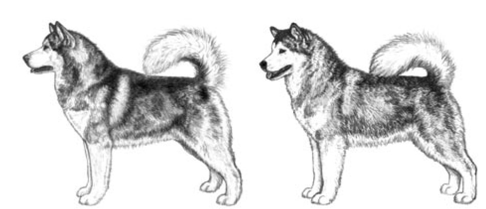 Alaskan Malamute - side view
