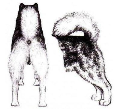 Alaskan Malamute - rear view